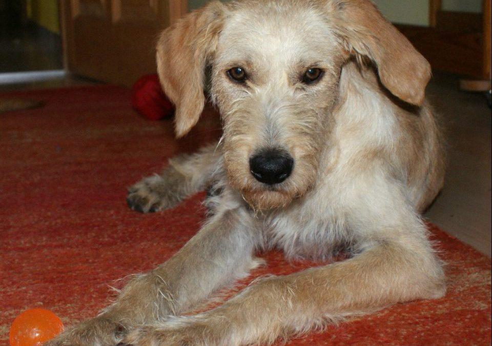 Boriska, UD-Terrier-Mix, 6 Monate