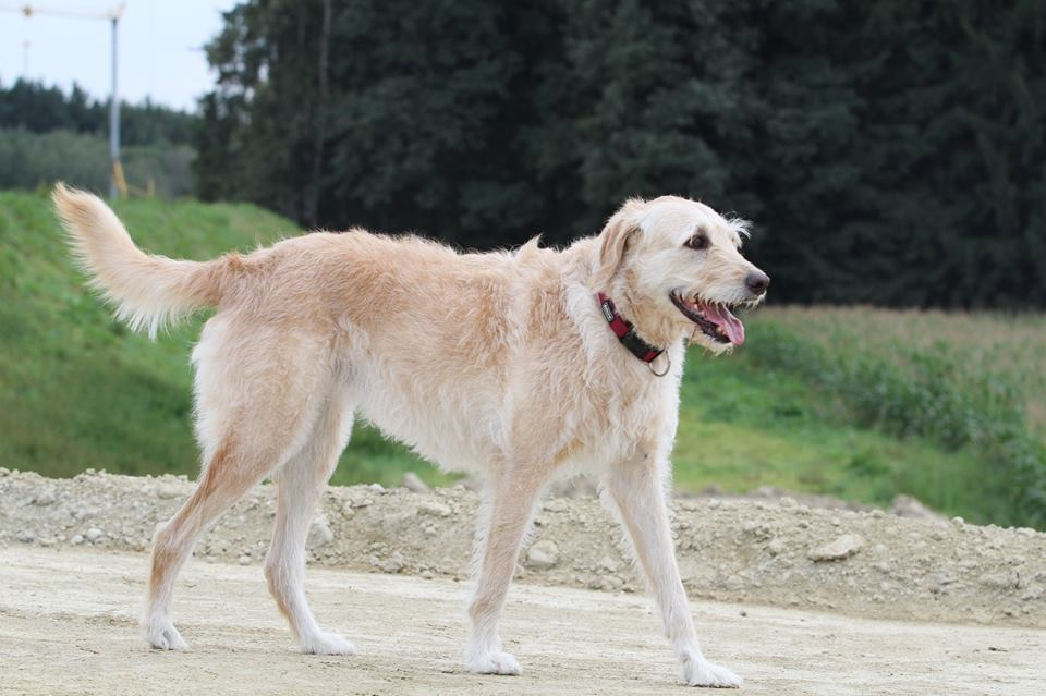 Lissy | Labradoodle, 8 Jahre