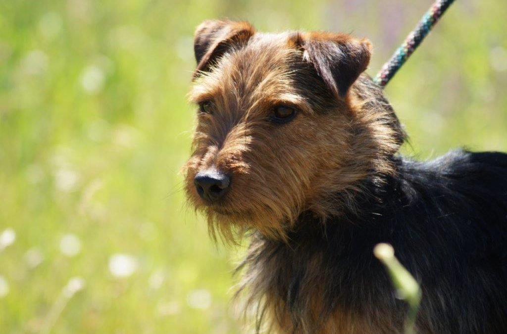 Sparkli   Terrier-Mix, 5 Jahre