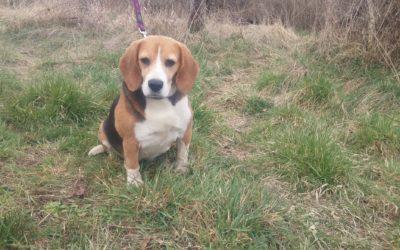 Ludo | Beagle, 8 Jahre