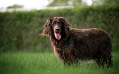 Cäsar | Wachtelhund, 10 Jahre