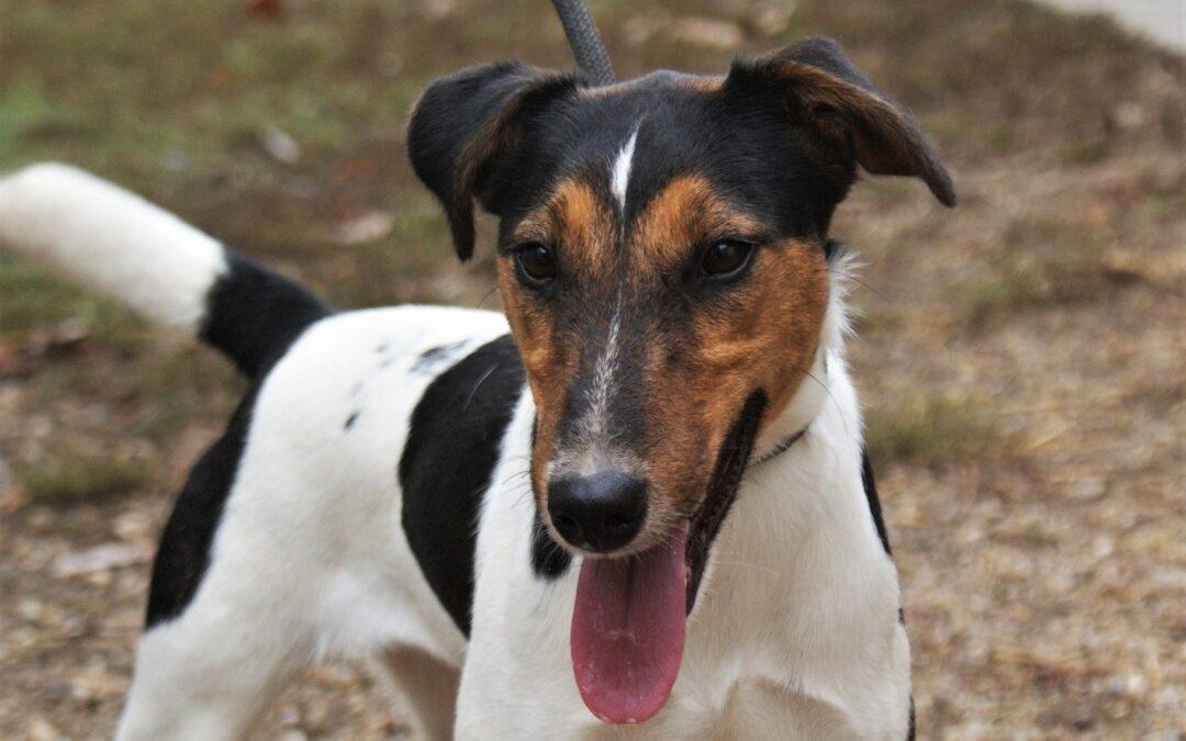 Hudini   Terrier, ca. 1,5 Jahre