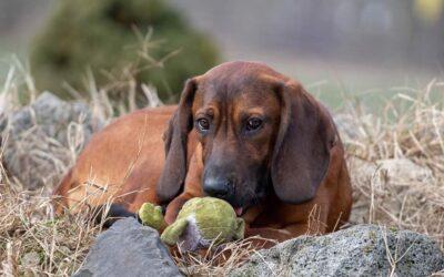 Hanno | Schweißhund, 8 Monate