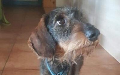 Angus | Rauhaardackel, 4 Jahre