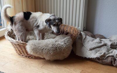 Willi | Jack Russel Terrier, 13 Jahre